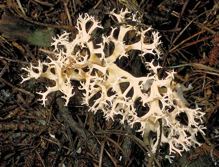 photo: Ramaria sp.