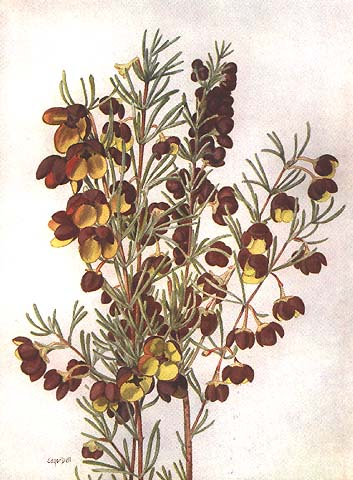 illustration: Boronia megastigma