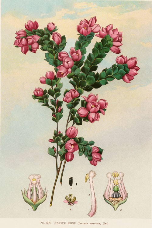illustration: Boronia serrulata