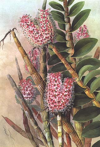 illustration: Dendrobium smillieae