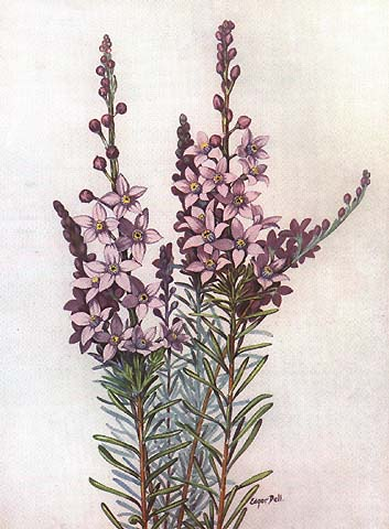 illustration: Eriostemon spicatus