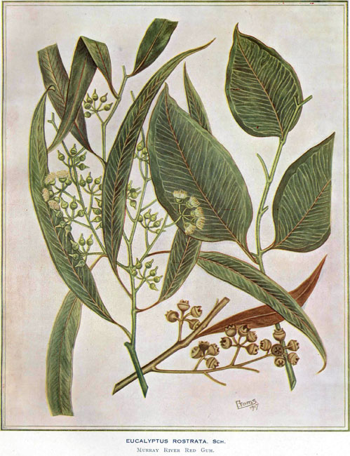 illustration: Eucalyptus camaldulensis