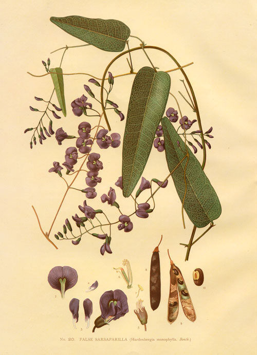 illustration: Hardenbergia violacea
