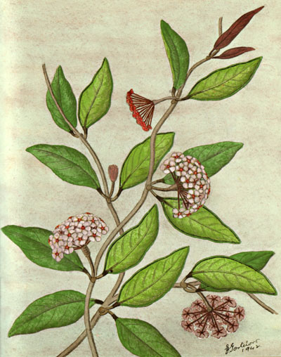 illustration: Hoya australis