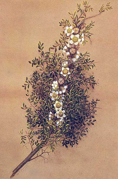 illustration: Leptospermum spinescens