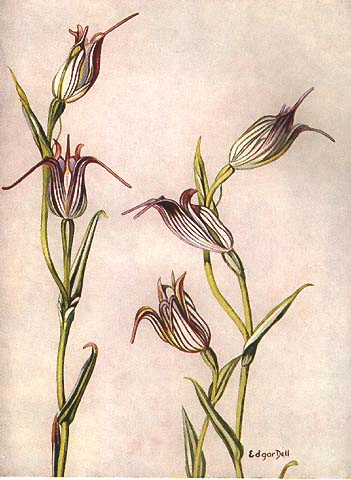 illustration: Pterostylis recurva