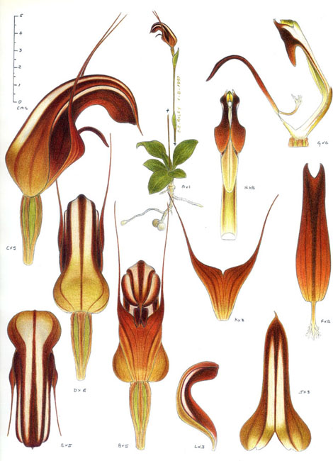 illustration: Thysanotus juncifolius