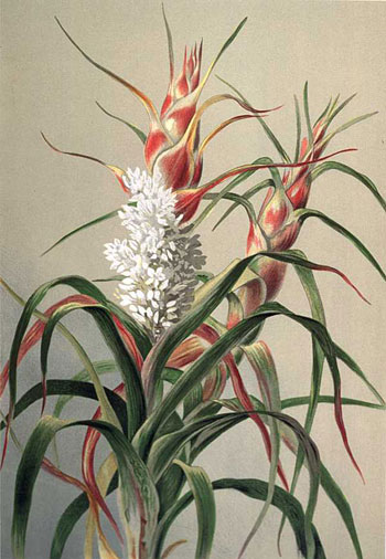 illustration: Richea dracophylla