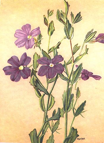 illustration: Scaevola striata