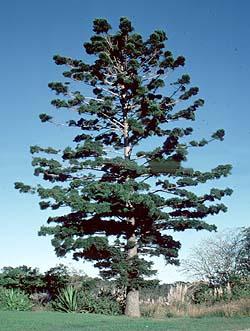 Australian Conifers
