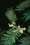 Acacia parvipinnata - click for larger image