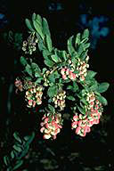 Grevillea iaspicula - click for larger image