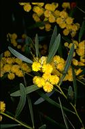Acacia beckleri - click for larger image