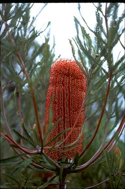 APII jpeg image of Banksia brownii  © contact APII
