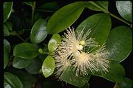 Syzygium australis - click for larger image