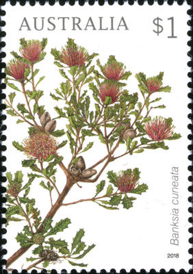 Banksia cuneata stamp painted by Celia Rosser
